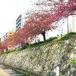 京都 街の桜